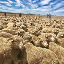Here's a glimpse of Trainee Megan's Australian farming placement in the exotic outback! Request an info package to find out how you could work and travel abroad, too! #IRECanada........#downunder #experienceoz #visitoz #sheep #livestock #oppo