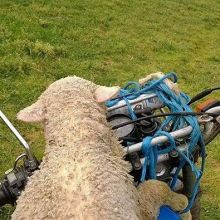Need a lift? We help and support your journey from beginning to end - apply to our rewarding work and travel program today! #IRECanada........#sheep #hitchingaride #motorcycle #wollypassenger #farmerabroad #canadianabroad #cdntraveller #canadian